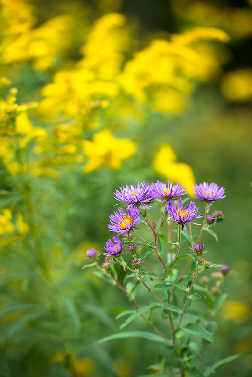 September 12 - New England Aster