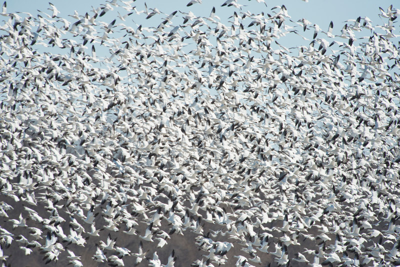 March 29 - Snow Geese